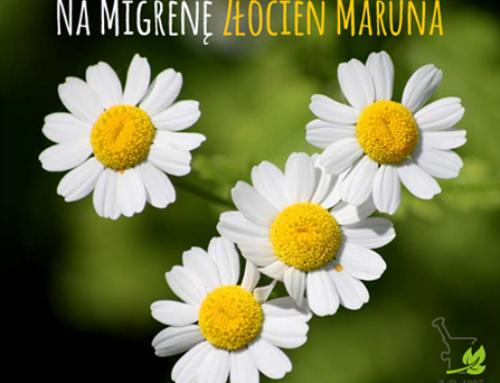 Złocień Maruna Na Migrenę